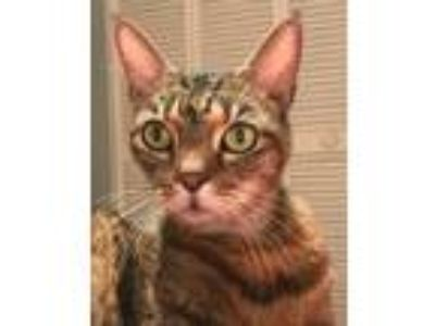 Adopt Tweetie a Brown or Chocolate (Mostly) Domestic Shorthair / Mixed (short