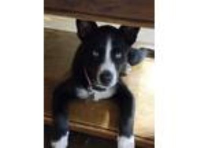 Adopt Sailor a Black - with White Border Collie / Husky / Mixed dog in Oklahoma