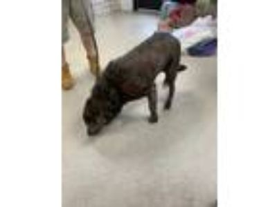 Adopt Louie a Brindle Retriever (Unknown Type) / Mixed dog in Fort Worth