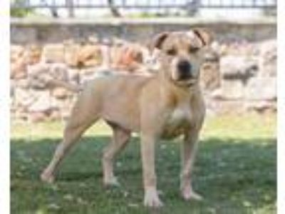 Adopt Gold a Tan/Yellow/Fawn American Pit Bull Terrier / Mixed dog in