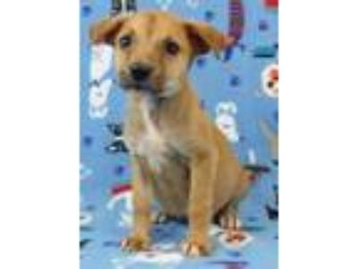 Adopt Hash a Australian Cattle Dog / Blue Heeler