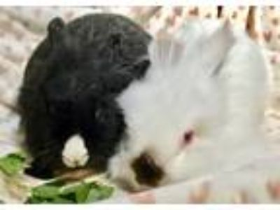 Adopt Archie and Reggie a Black Lionhead / Mixed (short coat) rabbit in