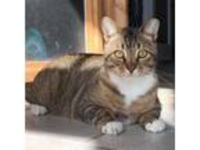 Adopt Kelly a Brown Tabby Domestic Shorthair / Mixed (short coat) cat in