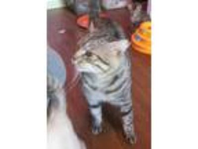 Adopt TJ a Brown Tabby Domestic Shorthair (short coat) cat in Copperas Cove