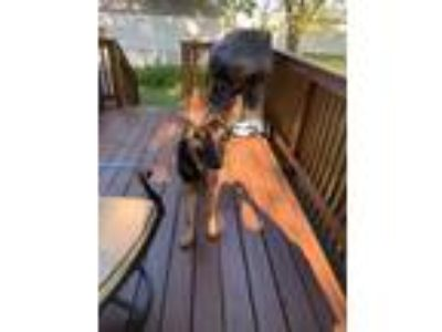 Adopt max a German Shepherd Dog