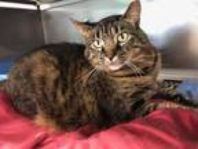 Adopt Poppy a Brown Tabby Domestic Shorthair (short coat) cat in