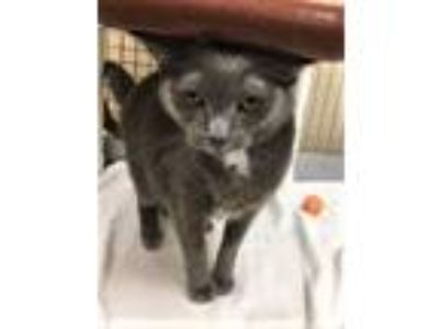 Adopt Julie a Domestic Short Hair