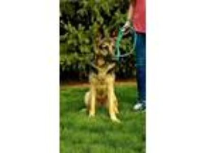 Adopt Misty a Black - with Tan, Yellow or Fawn German Shepherd Dog / Mixed dog