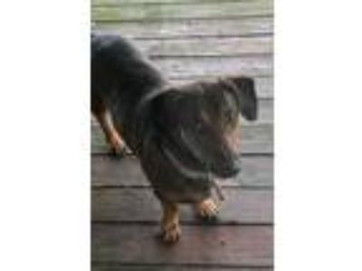 Adopt Shorty a Black - with Tan, Yellow or Fawn Dachshund / Mixed dog in