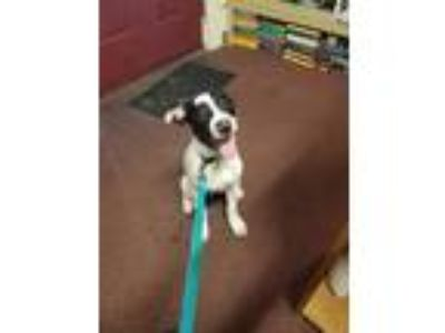 Adopt Sarge a White - with Black Boston Terrier / Jack Russell Terrier / Mixed