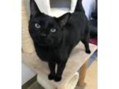 Adopt Neal a All Black Domestic Shorthair / Mixed (short coat) cat in Little