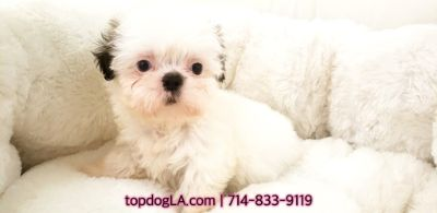Shih Tzu PUPPY FOR SALE ADN-75058 - Shihtzu Female Naomi