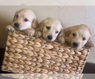 Golden Retriever PUPPY FOR SALE ADN-126420 - Adorable Golden Retriever Puppies