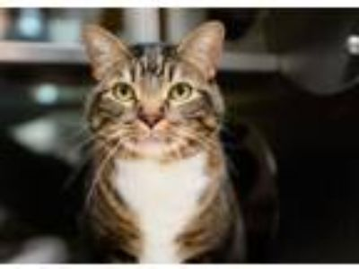 Adopt Snickers a Domestic Short Hair