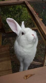 FREE 1 YR OLD RABBIT TO GOOD HOME (Mansura)