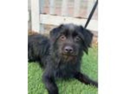 Adopt Moe a Cairn Terrier, Poodle