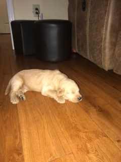 Labradoodle PUPPY FOR SALE ADN-88968 - F1B LabraDoodle Puppies for Sale
