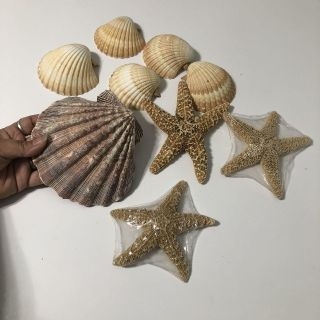Giant 5 1/2 shell w/ star fish & other large shells! Sold together!