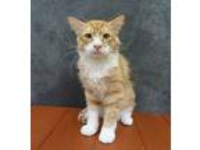 Adopt Catamaran - Maine Coon Mix a Maine Coon, Tabby