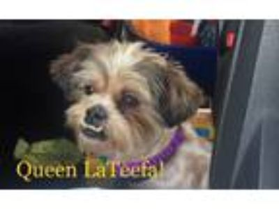 Adopt Queen LaTeefa a Red/Golden/Orange/Chestnut Lhasa Apso / Mixed dog in