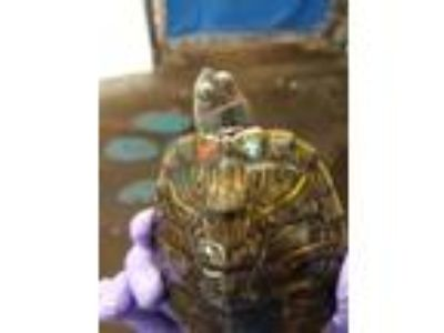 Adopt Fred a Turtle