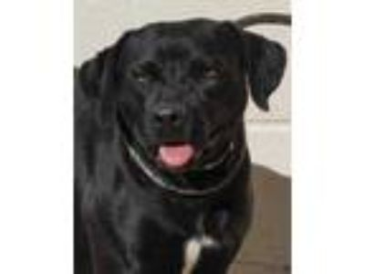 Adopt Walnut a Black Retriever (Unknown Type) / Mixed dog in Toccoa