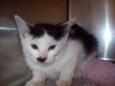 Adopt *CUPCAKES a White (Mostly) Domestic Shorthair / Mixed (short coat) cat in