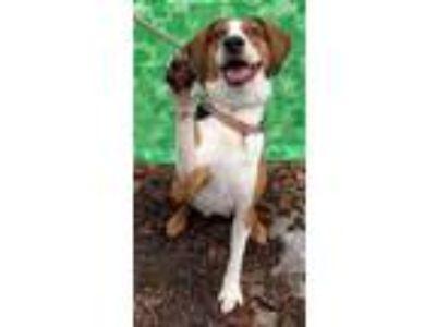 Adopt Brownie Beaufort a Treeing Walker Coonhound
