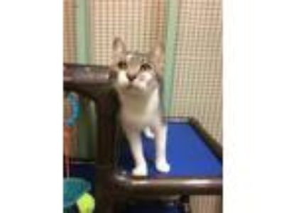Adopt Abby a Domestic Short Hair