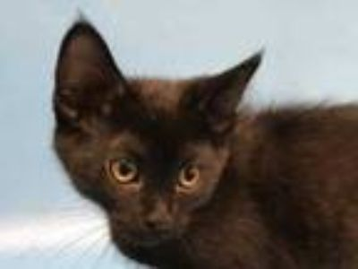 Adopt Maddie a All Black Domestic Shorthair / Mixed cat in Golden Valley