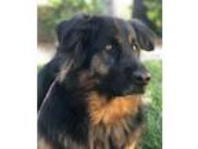 Adopt Mia a German Shepherd Dog