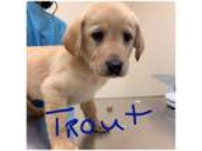 Adopt Trout (Ocean's 13) a Tan/Yellow/Fawn Labrador Retriever / Mixed dog in