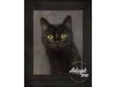 Adopt Harbor a Bombay, Domestic Short Hair