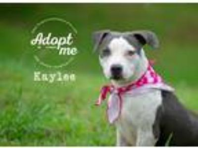 Adopt Kaylee a Gray/Silver/Salt & Pepper - with White Pit Bull Terrier / Boston
