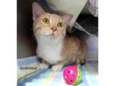 Adopt Androxus a Orange or Red Domestic Shorthair / Domestic Shorthair / Mixed