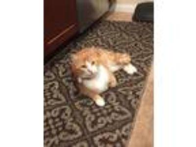 Adopt Pumpkin a Orange or Red American Shorthair cat in Lakeside, CA (24994541)