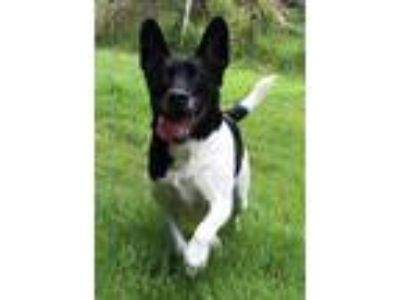 Adopt Bailey:Bonded with Max a Border Collie, German Shepherd Dog