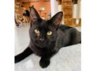 Adopt Holly Berry @DESTINATIONCATS a All Black Bombay / Mixed (short coat) cat