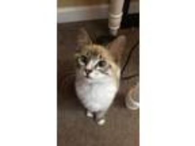 Adopt Mo a White (Mostly) Domestic Mediumhair / Mixed cat in Powder Springs