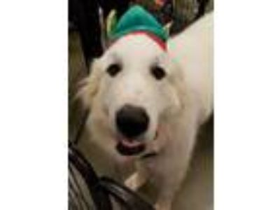Adopt Zeus a Great Pyrenees