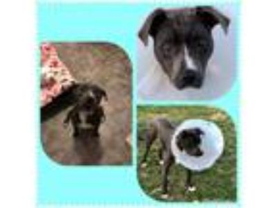 Adopt Zion a Pit Bull Terrier