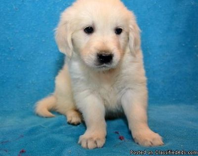 OUHFGHF Golden Retriever Puppies