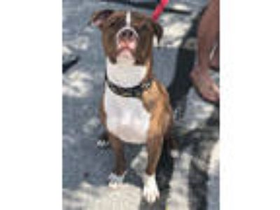 Adopt Bishop a Labrador Retriever, Pit Bull Terrier