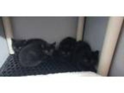 Adopt 4 kittens - GENDERS UNKNOWN a Domestic Short Hair