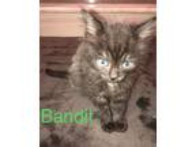Adopt Bandit a Black (Mostly) Domestic Mediumhair (medium coat) cat in Utica