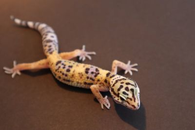 Baby Leopard Gecko Hatched 5-10-18