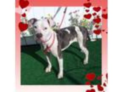 Adopt CAYAN a Pit Bull Terrier