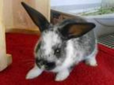 Adopt SPICE a Bunny Rabbit