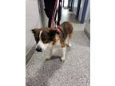 Adopt Juno a Brown/Chocolate - with White Collie / Shepherd (Unknown Type) /
