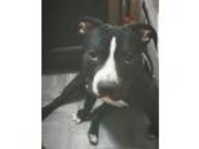Adopt Chinx a Brown/Chocolate - with White American Pit Bull Terrier dog in